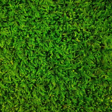 Zelené stěny - Stabilizovaný mech Flattmoss volně 1 m2