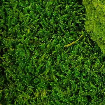 Zelené stěny - Stabilizovaný mech Flattmoss volně 25x25 cm