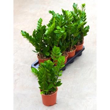 Živé květiny - Zamioculcas zamiifolia 14x50cm