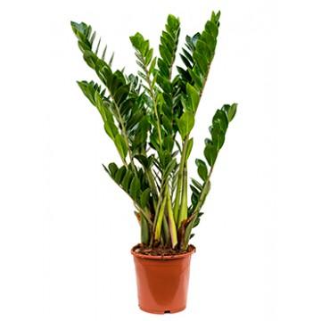 Živé květiny - Zamioculcas zamiifolia 21x80cm