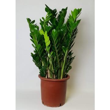 Živé květiny - Zamioculcas zamiifolia 34x100cm