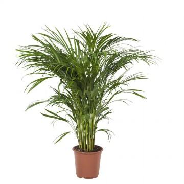 Živé květiny - Areca Lutescens (chrysalidocarpus) 21x100cm