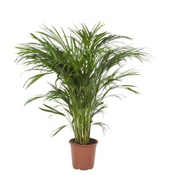Živé květiny - Areca Lutescens (chrysalidocarpus) 21x110cm