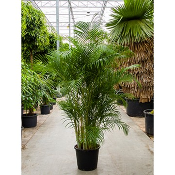 Živé květiny - Areca Lutescens (chrysalidocarpus) 45x220cm