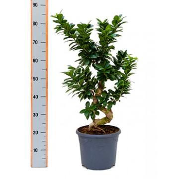 Živé květiny - Ficus microcarpa compacta 26x60cm