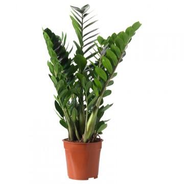 Živé květiny - Zamioculcas zamiifolia 17x65cm
