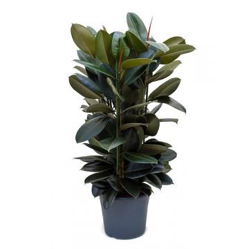 Živé květiny - Ficus Elastica 35x130cm