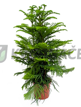 Živé květiny - Araucaria Heterophylla 27x120