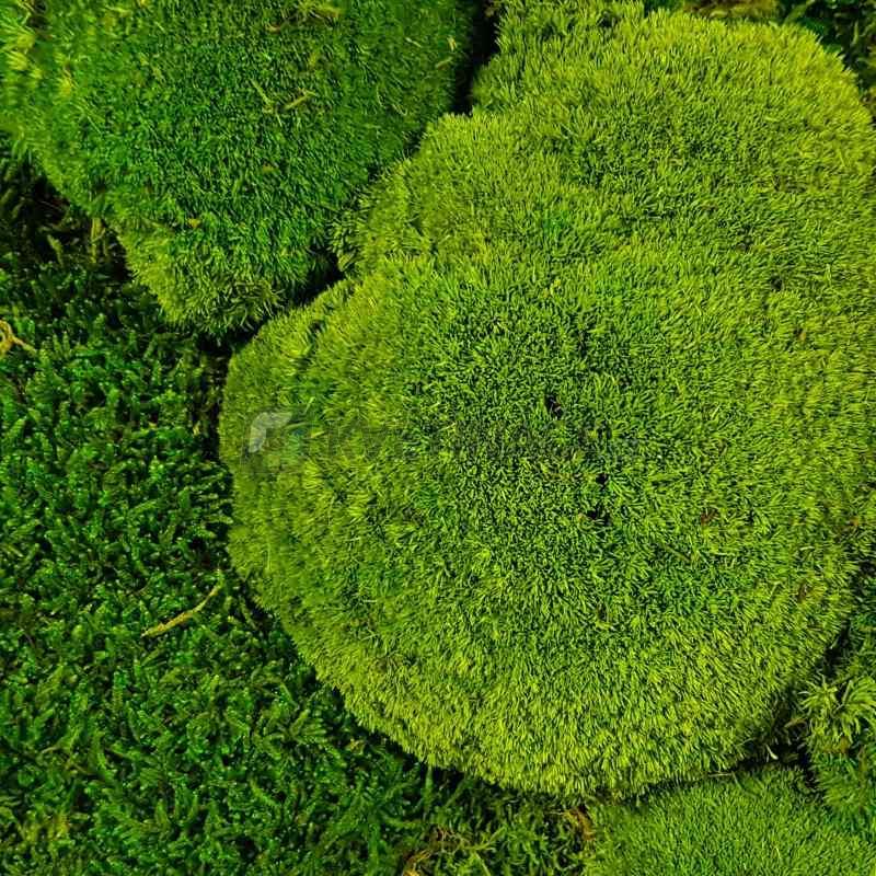 Zelené stěny - Stabilizovaný mech Ball moss volně 1 m2