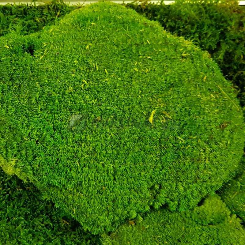 Zelené stěny - Stabilizovaný mech Ball moss volně 20x20 cm