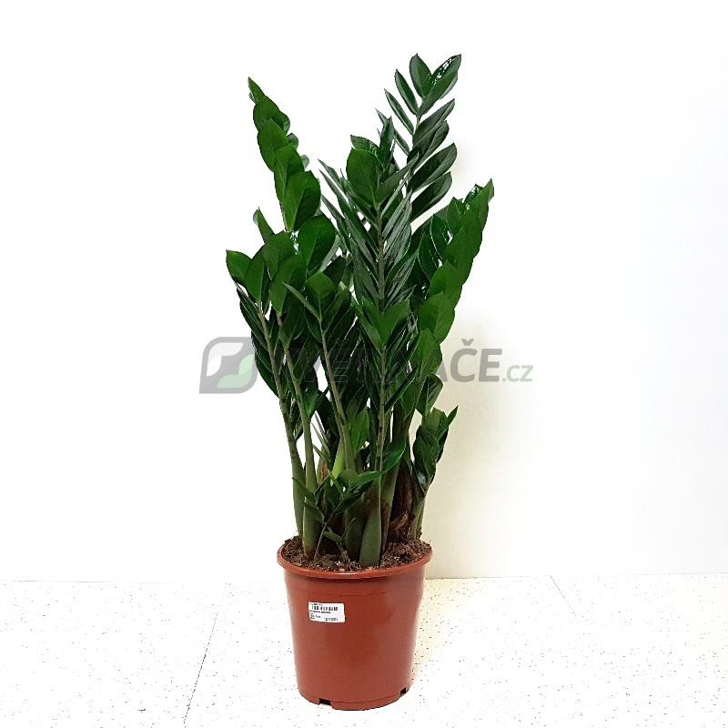Živé květiny - Zamioculcas zamiifolia 21x90cm
