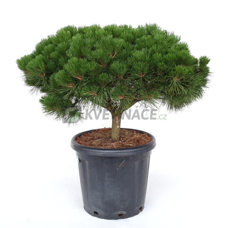Živé květiny - Pinus Nigra Brepo 35x95cm