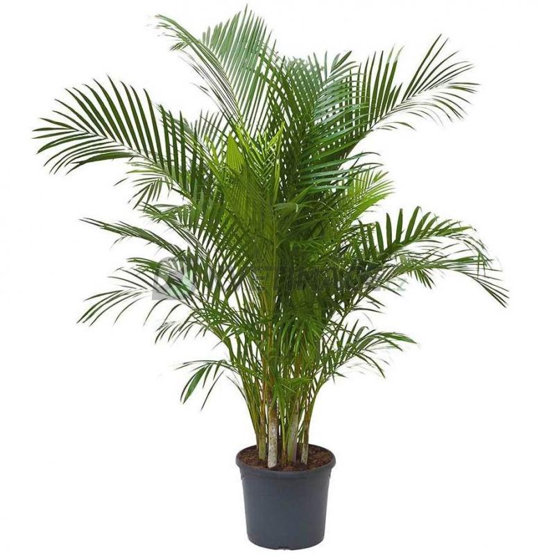 Živé květiny - Areca Lutescens (chrysalidocarpus) 31x170cm