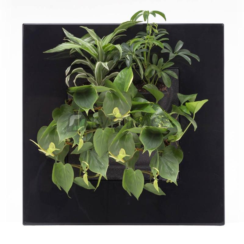 Zelené stěny - Živý obraz GO černý 51x51cm