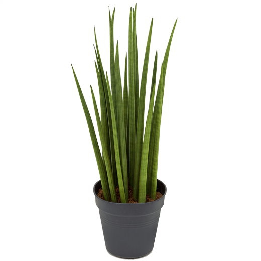 Živé květiny - Sansevieria Spikes 17x60cm