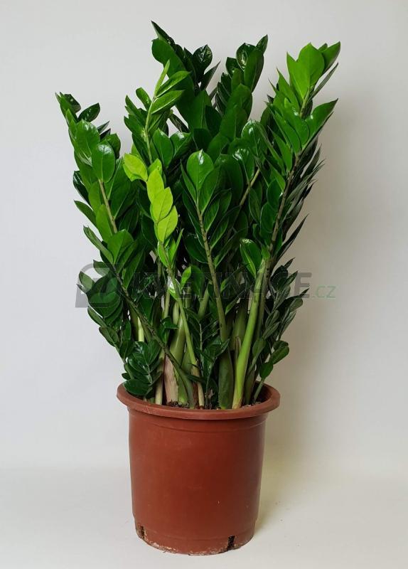 Živé květiny - Zamioculcas zamiifolia 30x100cm