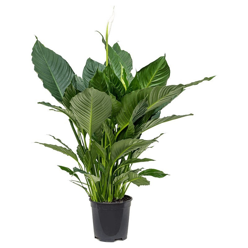 Živé květiny - Spathiphyllum alfetta 24x90cm