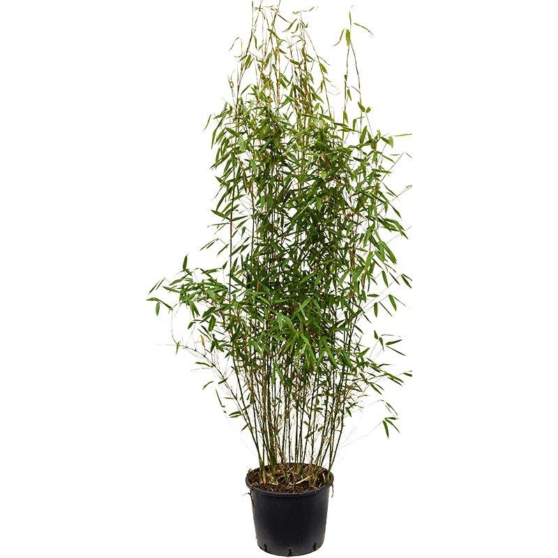 Živé květiny - Bambus Fargesia murieliae jumbo 32x120cm