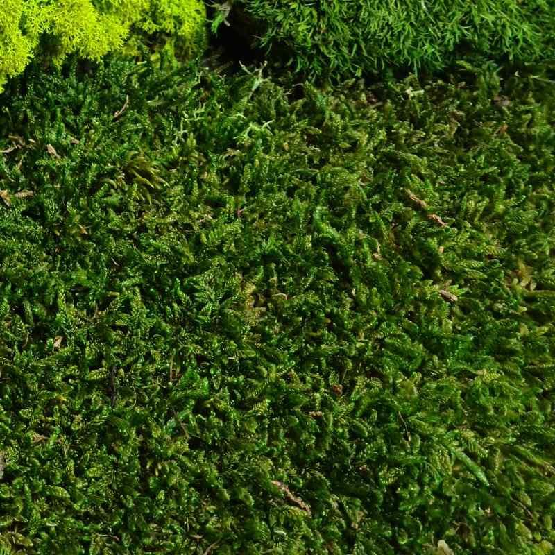 Zelené stěny - Stabilizovaný mech Flat moss volně 25x25 cm