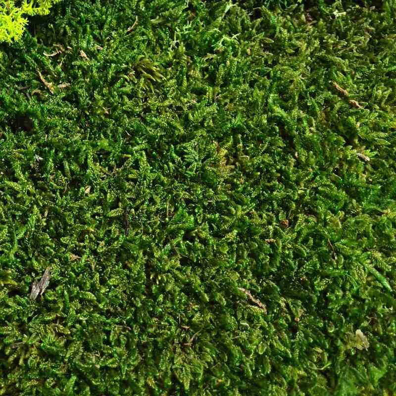 Zelené stěny - Stabilizovaný mech Flat moss volně 3,2 m2