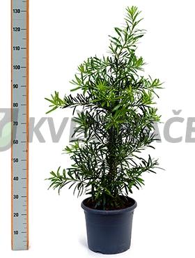 Živé květiny - Podocarpus Macrophyllus 29x100cm