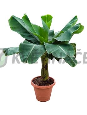 Živé květiny - Banánovník Musa Tropicana 32x120cm