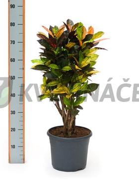 Živé květiny - Croton Iceton (codiaeum) 26x75cm