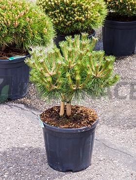 Živé květiny - Pinus Nigra Brepo 30x70cm