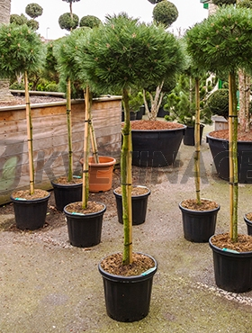 Živé květiny - Pinus Nigra Brepo 38x190cm