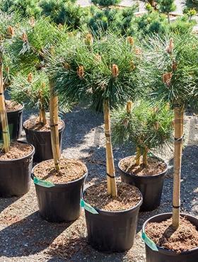 Živé květiny - Pinus Nigra Brepo 29x100cm