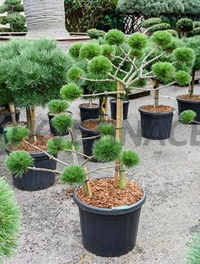 Živé květiny - Pinus Nigra Brepo 45x140cm