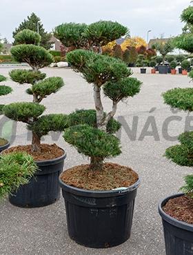 Živé květiny - Pinus Cembra 65x175cm
