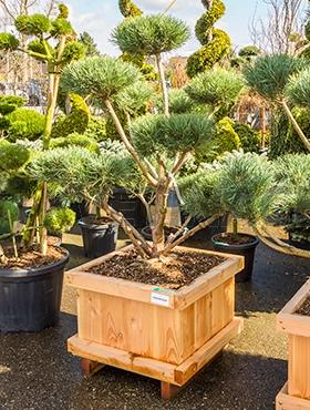 Živé květiny - Pinus Sylvestris warereri 73x73x190cm