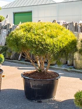 Živé květiny - Pinus dens. tamoyosho compacta 95x190cm