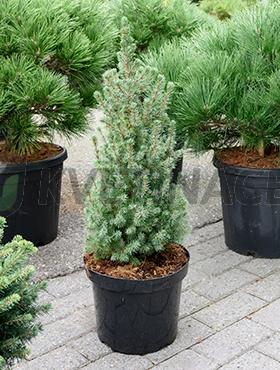 Živé květiny - Picea glauca sanders blue 25x75cm