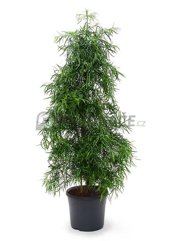 Živé květiny - Podocarpus Gracilor 31x150cm