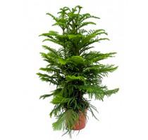 Araucaria Heterophylla 27x120