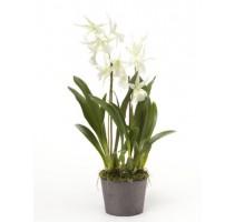 Umělá Orchidej Oncidium White 2 st. 75cm