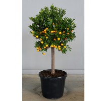 Citrus calamondin 60x210cm