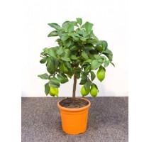 Citrus lemon 21x70cm