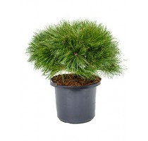 Pinus Nigra Brepo 30x60cm