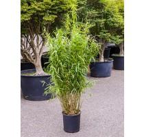 Bambus Fargesia murieliae jumbo 32x90cm