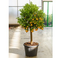 Citrus calamondin 55x180cm
