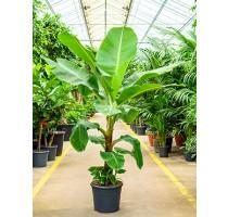 Banánovník Musa Tropicana 35x180cm