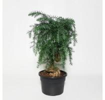 Živá Araucaria Cunninghamii 21x55cm