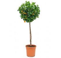 Citrus calamondin 36x130cm