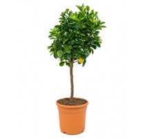 Citrus calamondin 22x75cm