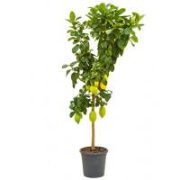 Citrus lemon 26x150cm