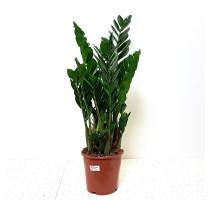 Zamioculcas zamiifolia 21x90cm