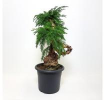 Araucaria Cunninghamii 35x110cm